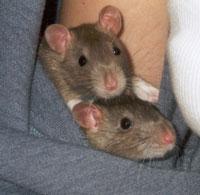 rats-small