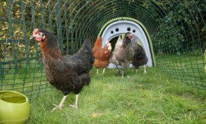 chickens1-600x399